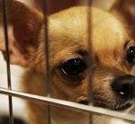 chihuahua-dog-rescue-and-adoption-150x138-2-3